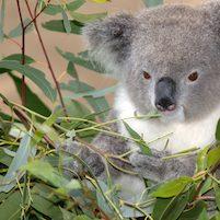 rotemuttermaleentfernen-eukalyptus